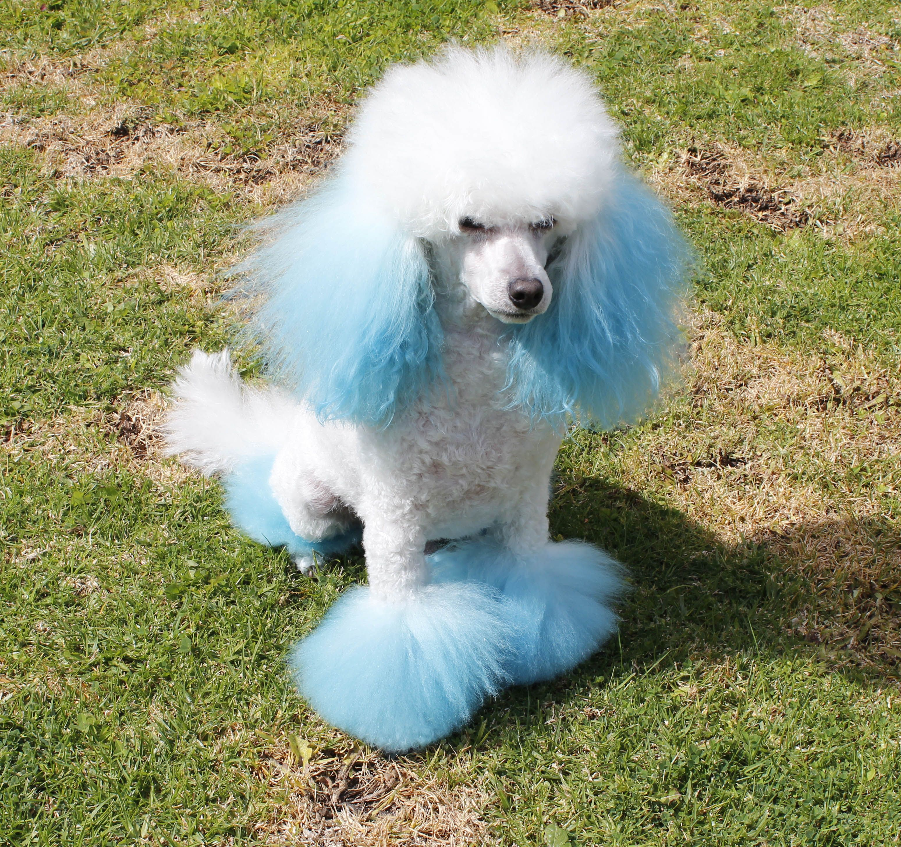 Gucci is a pedigree white miniature poodle we live by the