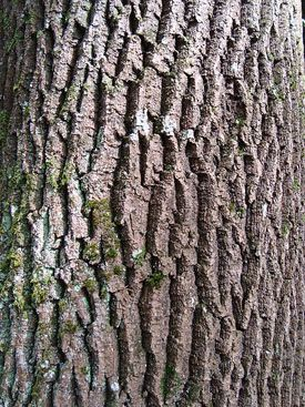 Winter Tree Identification Wild Pinterest Gardens