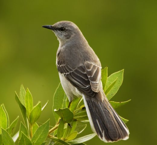 Mockingbird--Texas State Bird