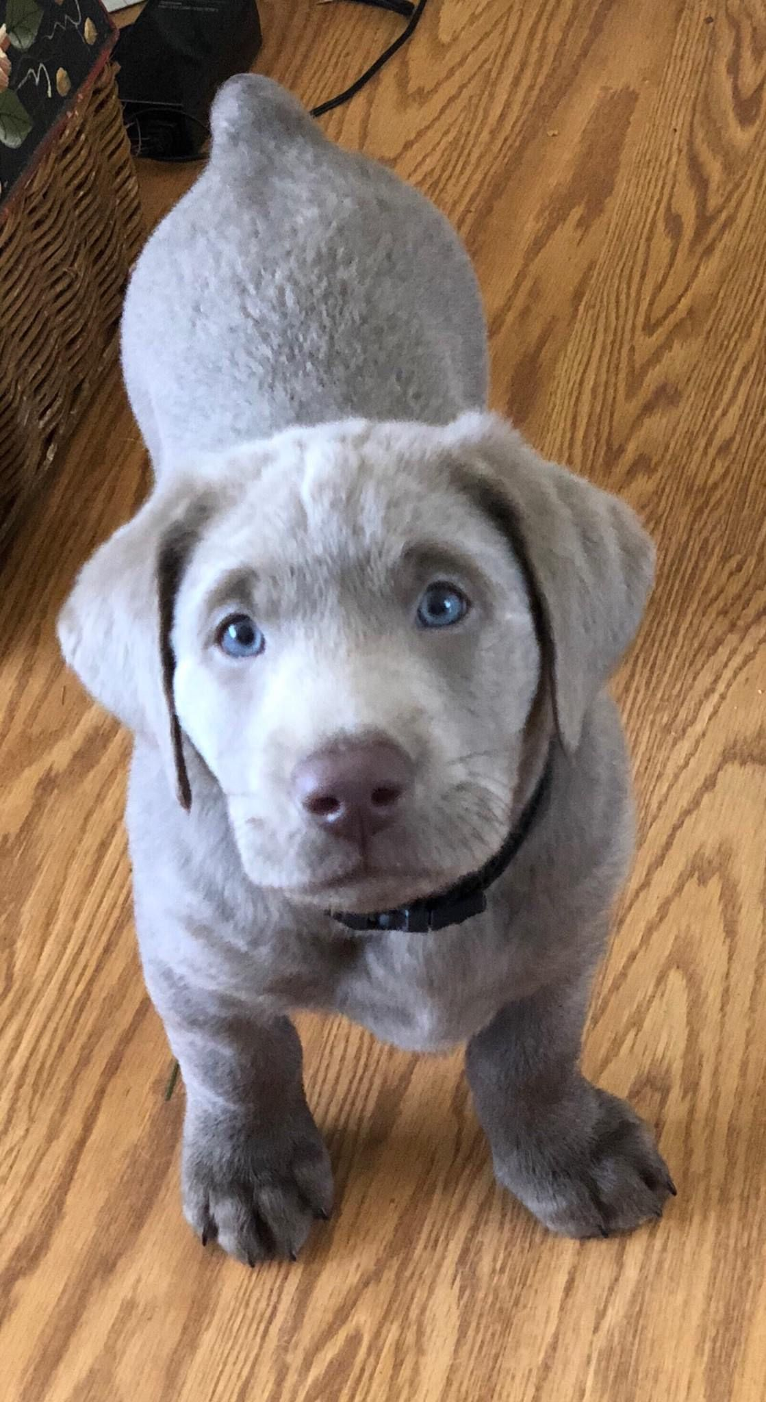 8 Week Old Silver Lab Dogpictures Dogs Aww Cuteanimals Dogsoftwitter Dog Cute Labrador Retriever Dog Labrador Puppy Labrador Retriever Puppies