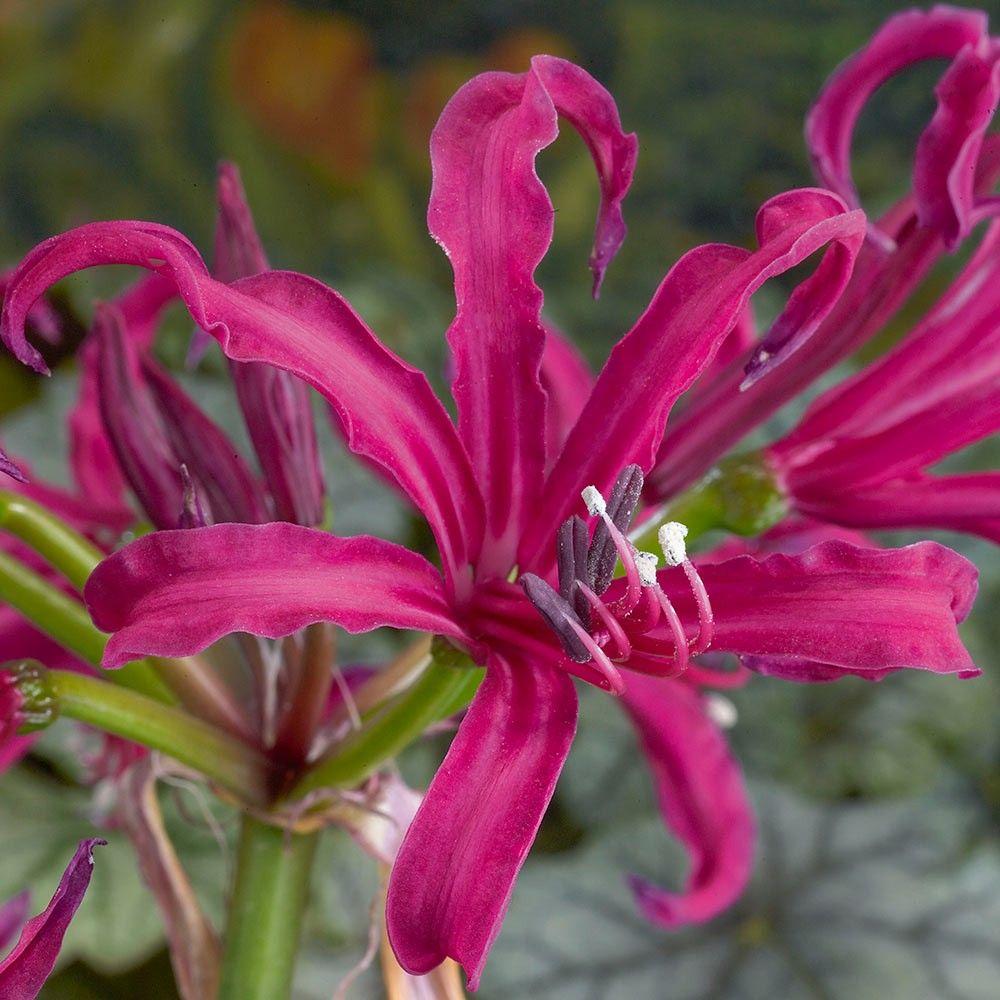 Autumn Flowering White Cornish Lily Bulbs 3 x Nerine Alba Ella K Bulbs