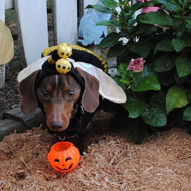 Beeeee careful, there is a big buzzing bee in the flower bed.   I'm so excited about Halloween!  Beeee a part of The @WeenTeam #13daysofhalloweenie by showing us your Halloween costume.