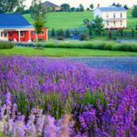 White Oak Lavender Farm and Purple Wolf Vineyards | Virginia