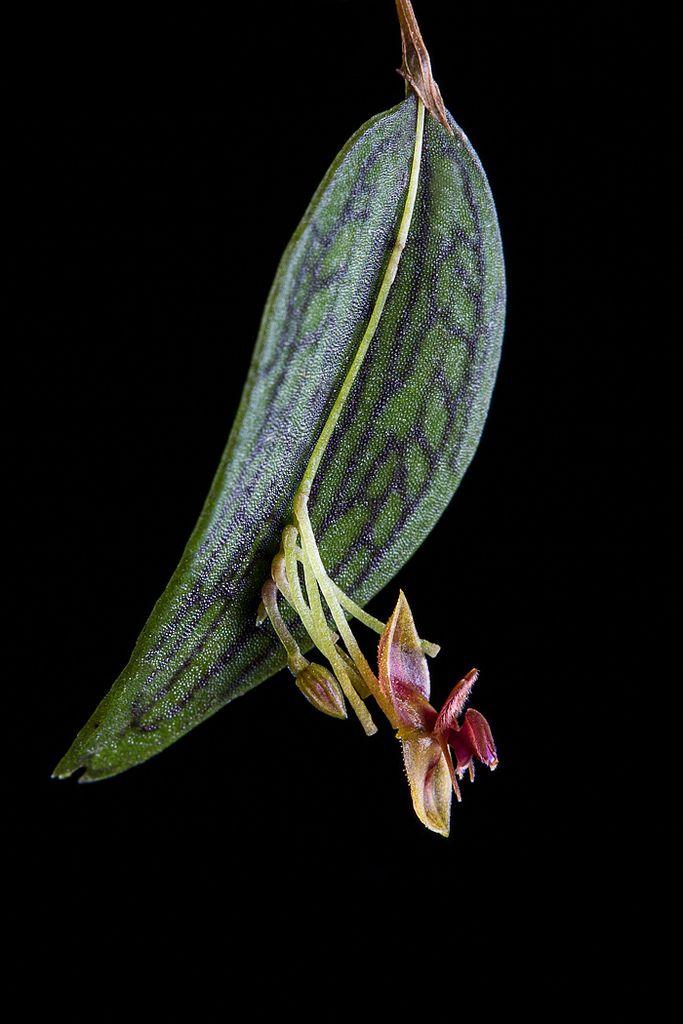 Lepanthes satyrica Luer & Hirtz | por PenduSeb - 2670m
