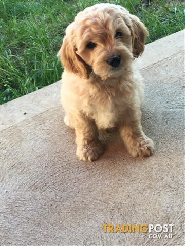 Toy Cavoodle Puppies For Sale In West Melbourne Vic Toy Cavoodle