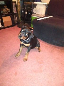 Rottweiler Puppy For Sale In Lanham Md Adn 40712 On Puppyfinder