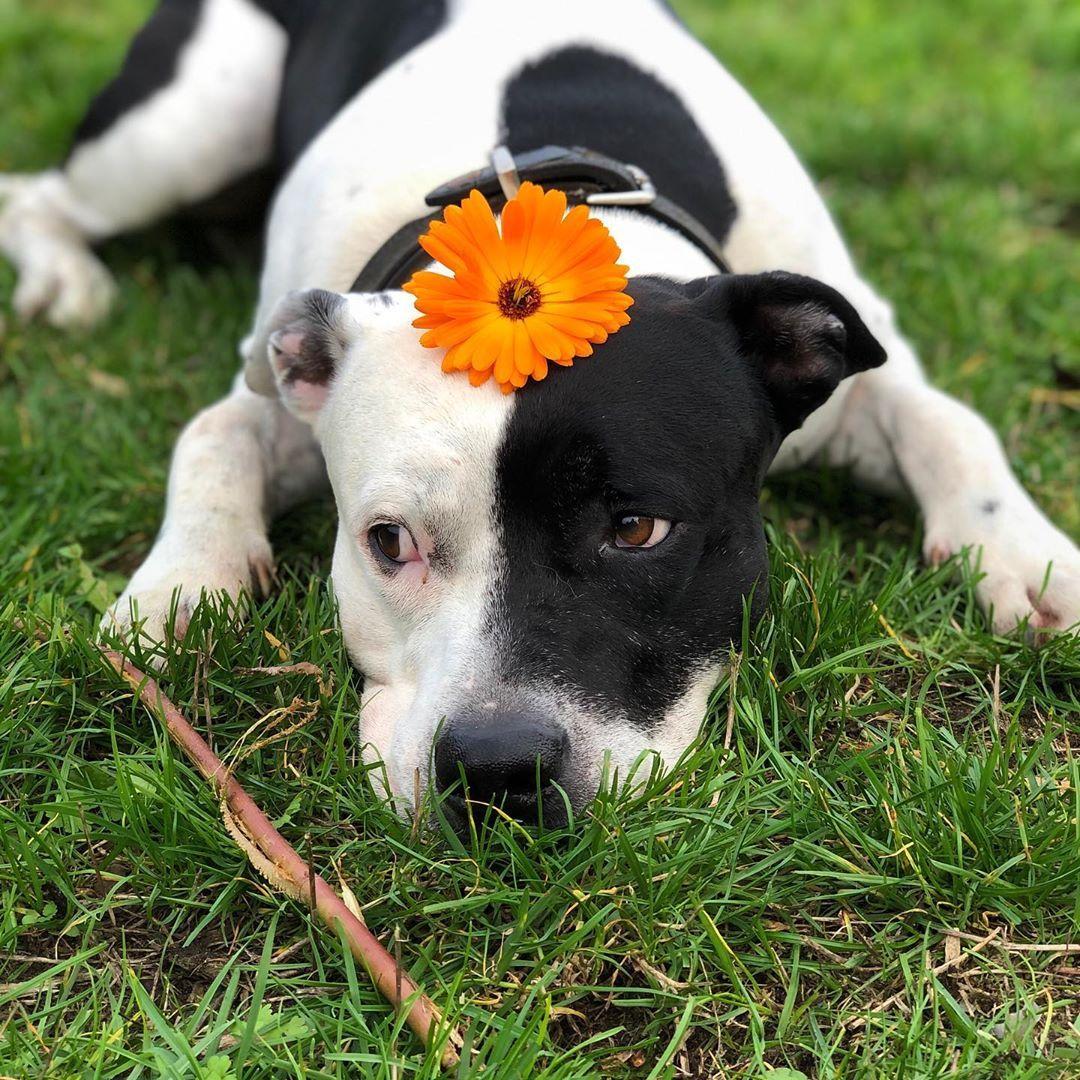 Liebe Love Tiere Blumen Americanstaffordshireterrier Liebling Lieblingshund Orange Stock Hund Margari Tiere American Staffordshire Terrier Tierliebe