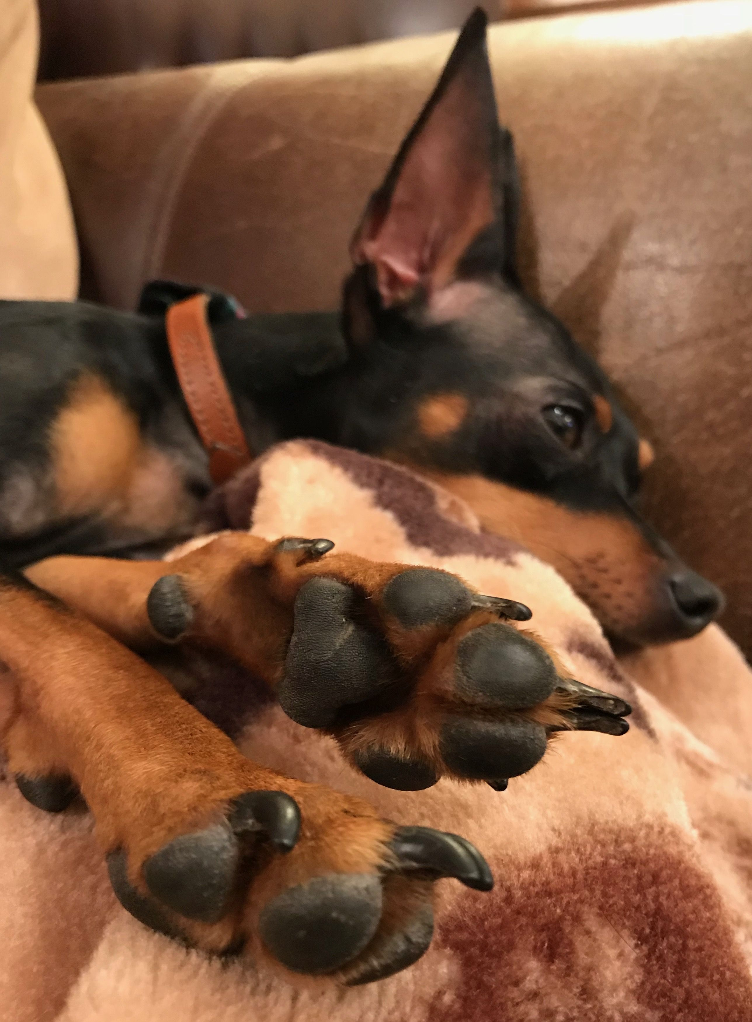 Time To Paws Relax Dog Pictures Doggy Miniature Pinscher