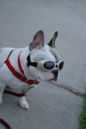Frenchie With Doggles Way Cool Super Cute Dogs Dog Helmet