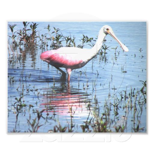 Roseate Spoonbill- Photo Print