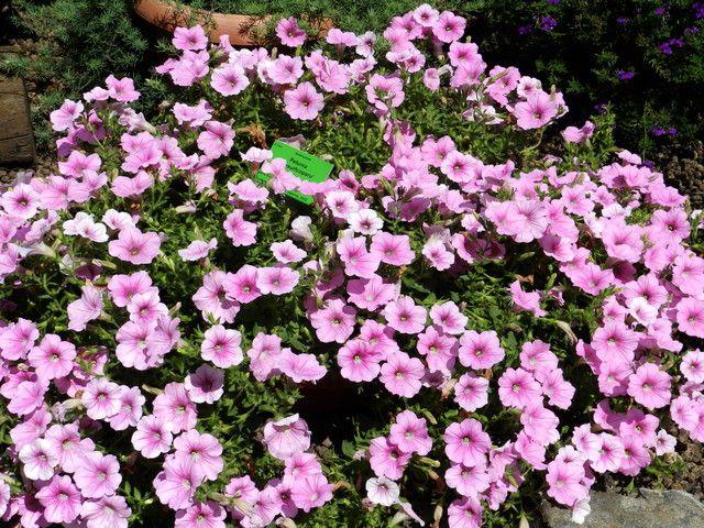 Petunia Ogrodowa Lac Petunia Ang Petunia Balcony Plants Perfect Plants Plants