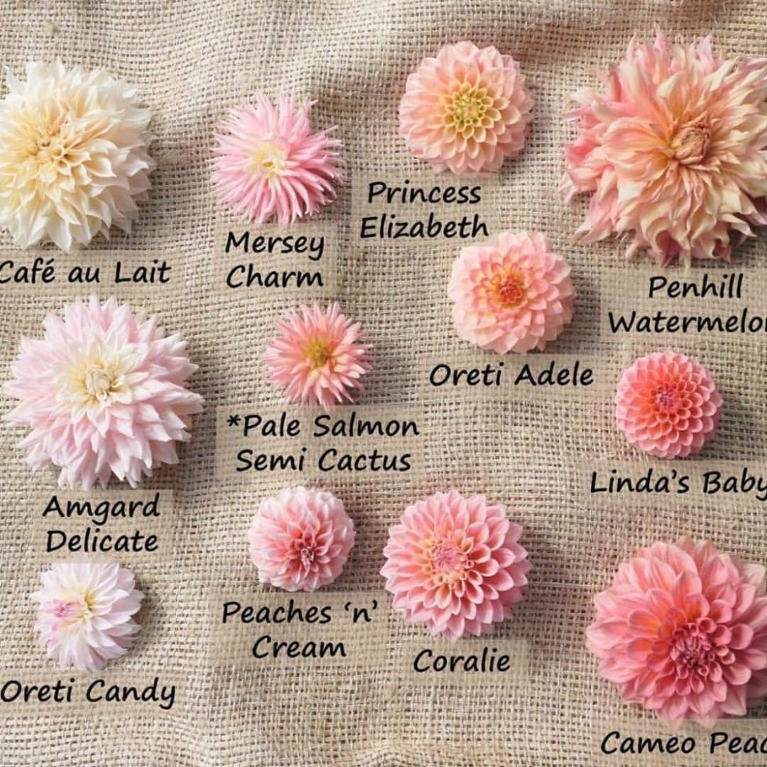 Photo of Peach Dahlias