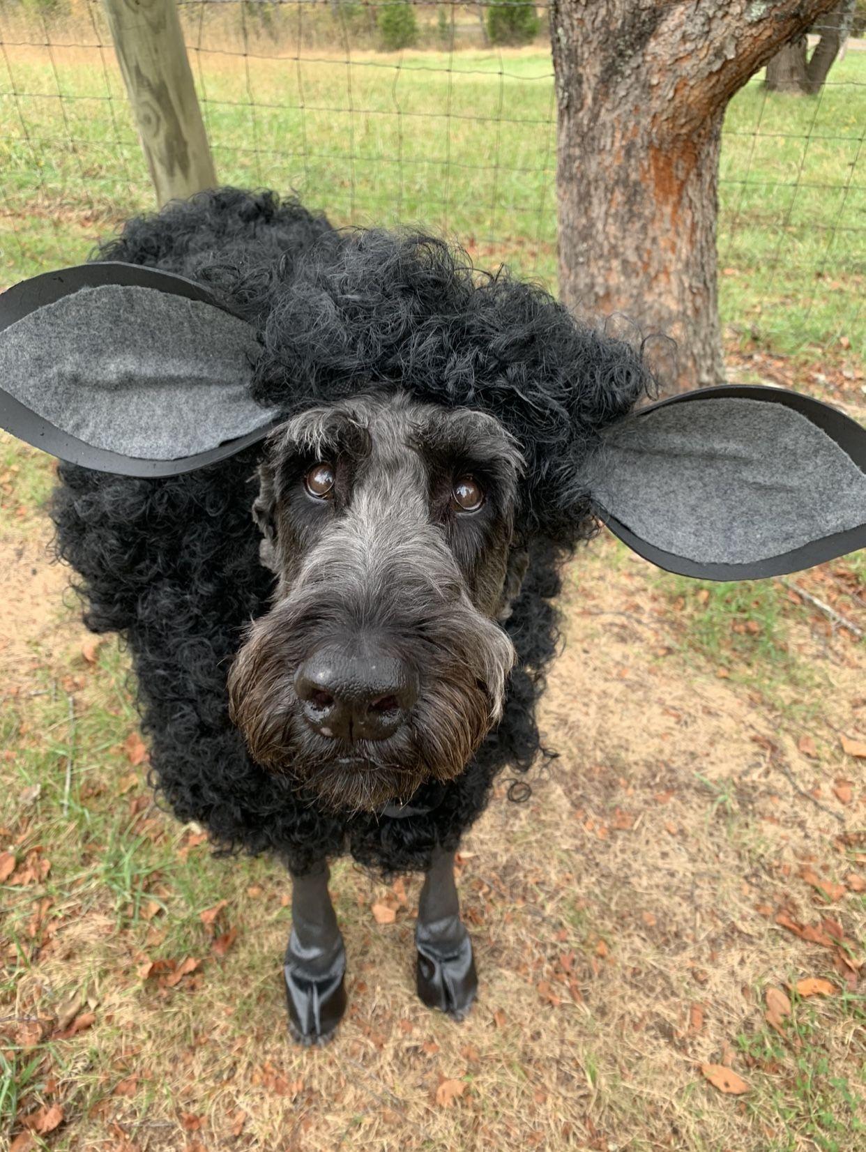 DIY sheep costume for dogs  #sheepcostume Insta @giantbosleyschnoodle #sheepcostume DIY sheep costume for dogs  #sheepcostume Insta @giantbosleyschnoodle #sheepcostume DIY sheep costume for dogs  #sheepcostume Insta @giantbosleyschnoodle #sheepcostume DIY sheep costume for dogs  #sheepcostume Insta @giantbosleyschnoodle #sheepcostume DIY sheep costume for dogs  #sheepcostume Insta @giantbosleyschnoodle #sheepcostume DIY sheep costume for dogs  #sheepcostume Insta @giantbosleyschnoodle #sheepcost #sheepcostume