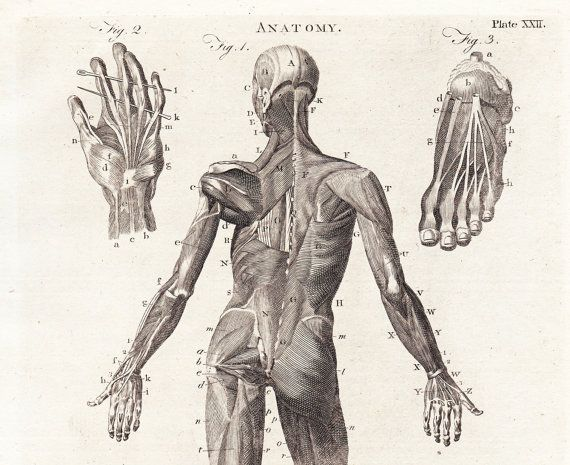 Antique Anatomy Print Body Muscles Rear View Plate Xxii