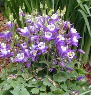 Flores ornamentales: Aguileña (Aquilegia hybrida)
