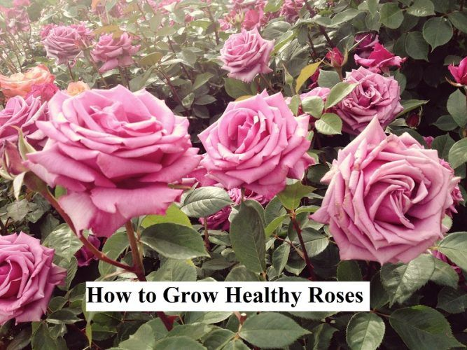 How to Grow Healthy Roses  Roses are easy to grow and remarkably tolerant especially when you grow your roses using organic, sustainable methods. Roses have long gotten a bad 'rap' of being difficult to grow when in actuality you only need to focus on a few basic points to have good results.   #beautifulroses #bouquetofroses #caringforroses #easilygrowroses #easystepstogrowroses #gardenroses #Grow #growhealthyroses #GrowRoses #growrosesfaster #growrosesindoors #growrosesonterrace #growingro