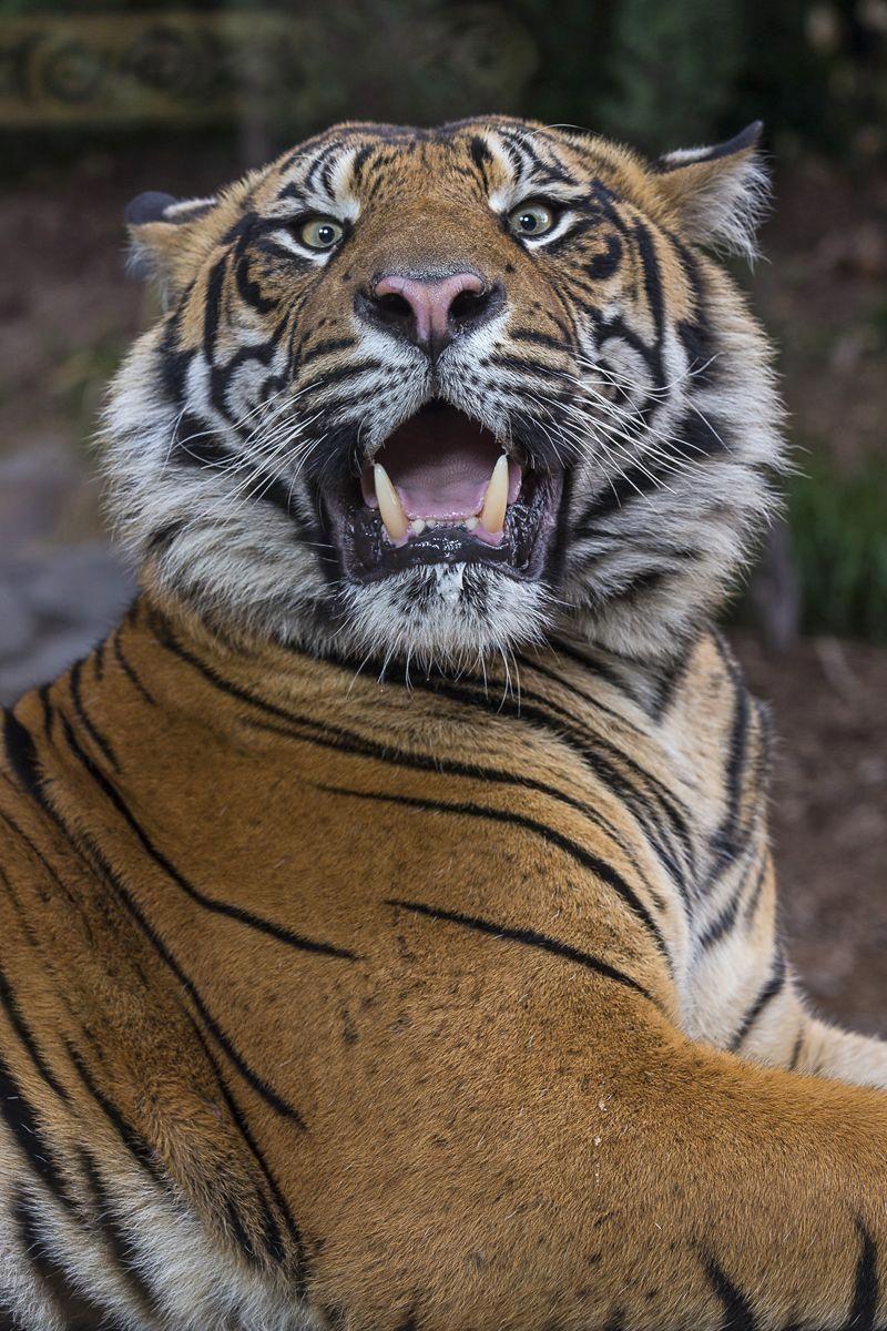 Nh Fisher Cats San diego zoo safari park, Tiger, Animal