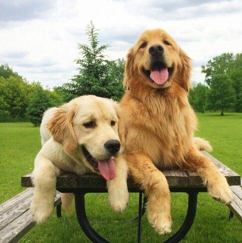 Boy And Girl Golden Retriever Dogs Golden Retriever Retriever