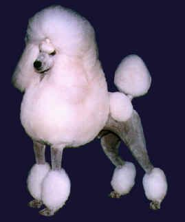 5xx Error Standard Poodles For Sale Easiest Dogs To Train