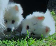 Fluffy Japanese Spitz Pups Puppies For Sale Toowoomba Queensland
