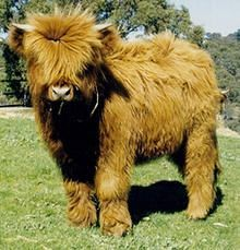 is an adorable Mini Highland! OMG I totally want to have one for a pet! Is that possible?!?!?!