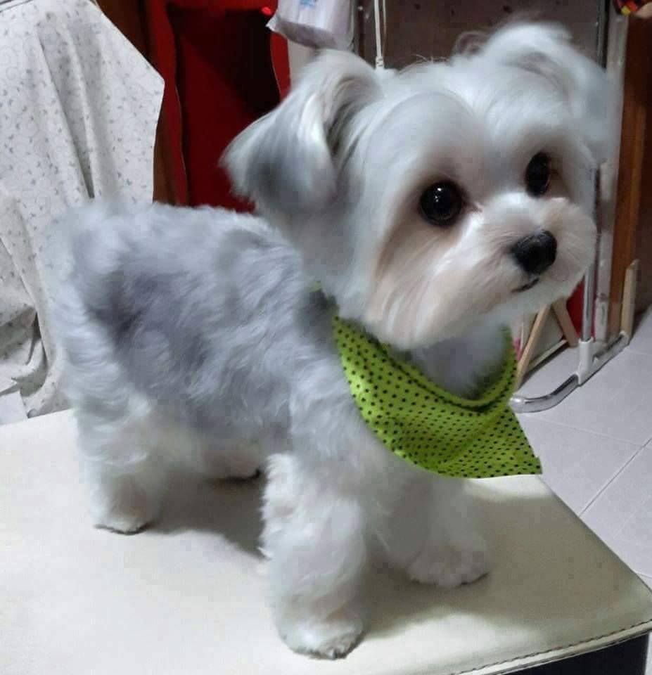Shih Tzu Maltese Haircuts 3 By Ryan Cute Baby Animals Cute Dogs