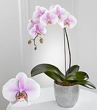 Smithsonian Truth S Beauty Phalaenopsis Orchid Orchid Flower Orchids Phalaenopsis Orchid