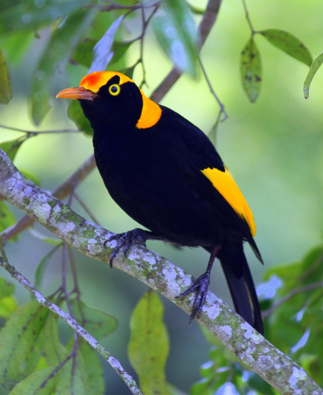 Male Regent Bowerbird. Tim Dolby's Bird Trip Reports: Great Sandy National Park and Inskip Point, and some others SEQ areas