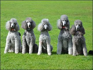 Five Champions From G Day Poodles Australia Owned And Trained By