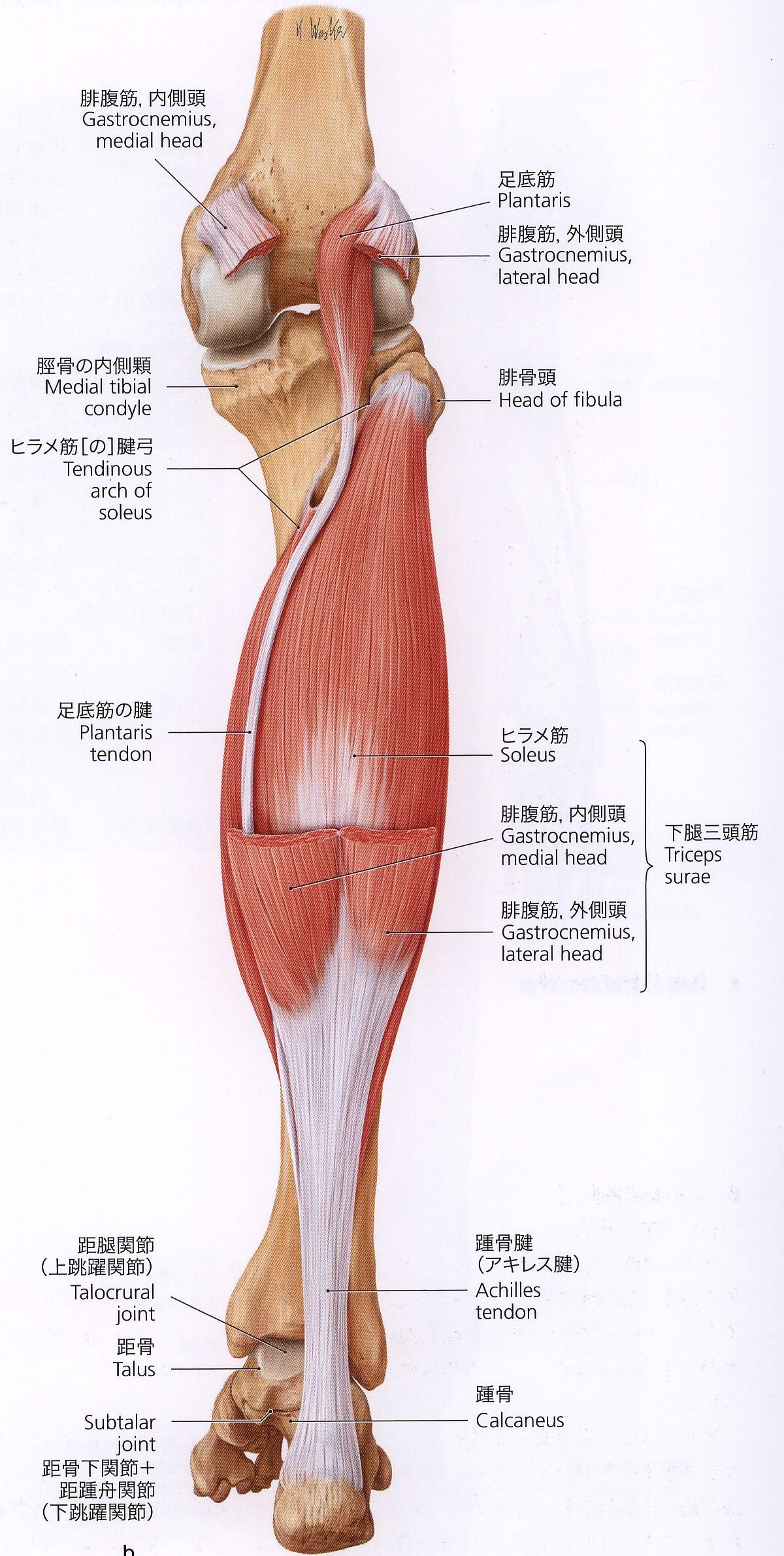 外腹斜筋 - Google 検索 | Massage&Movement | Pinterest | Anatomy ...