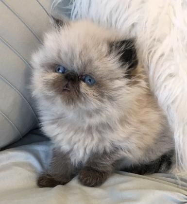 Persian And Himalayan Kittens For Sale Himalayan Kitten Baby Cats Pretty Cats