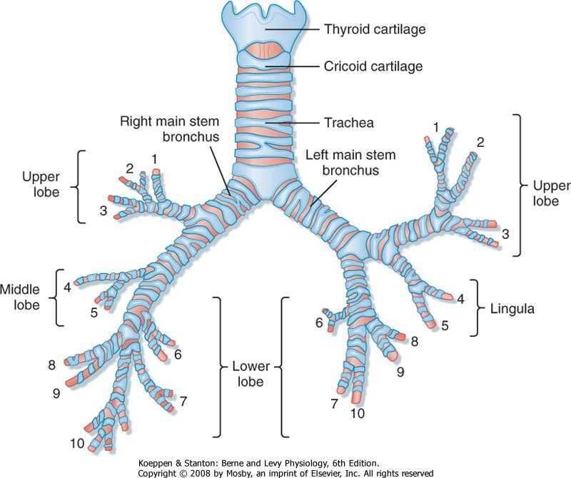 Respiratory Tree - Diagram | Histology - Respiratory | Pinterest ...