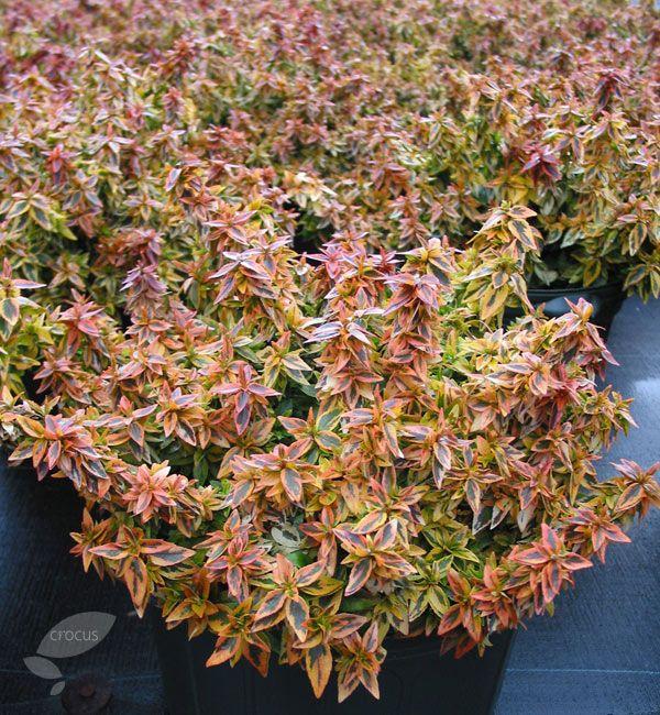 Kaleidoscope Ca: Buy Abelia Abelia × Grandiflora 'Kaleidoscope (PBR