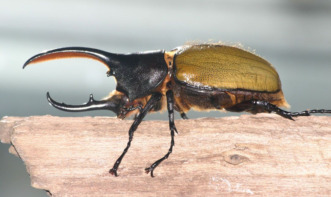 The Hercules beetle (Dynastes hercules) is the most famous ...