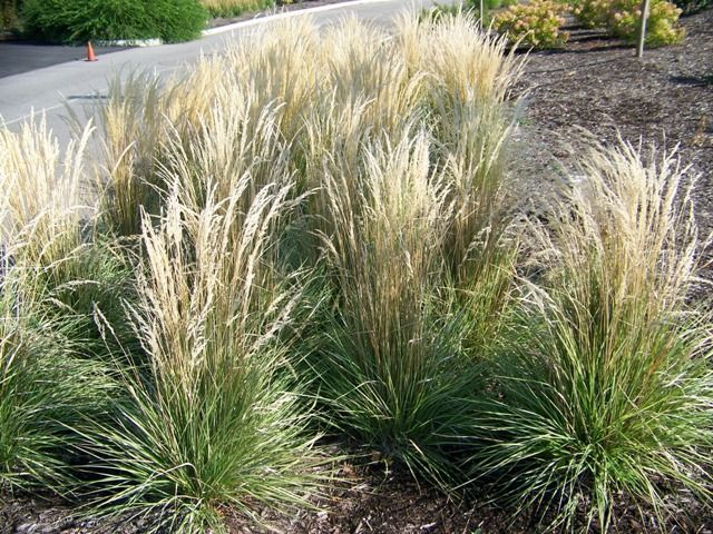 Calamagrostis acutiflora 39 overdam 39 grasses pinterest for Tall feather grass