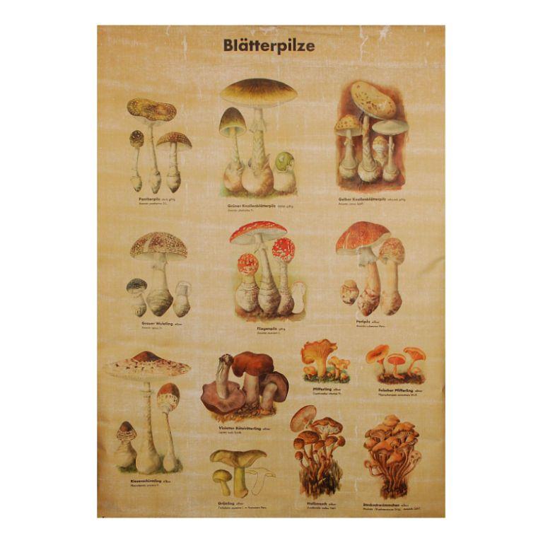 Mid Century German MUSHROOM / FUNGI Botanical Chart | Mushroom fungi ...