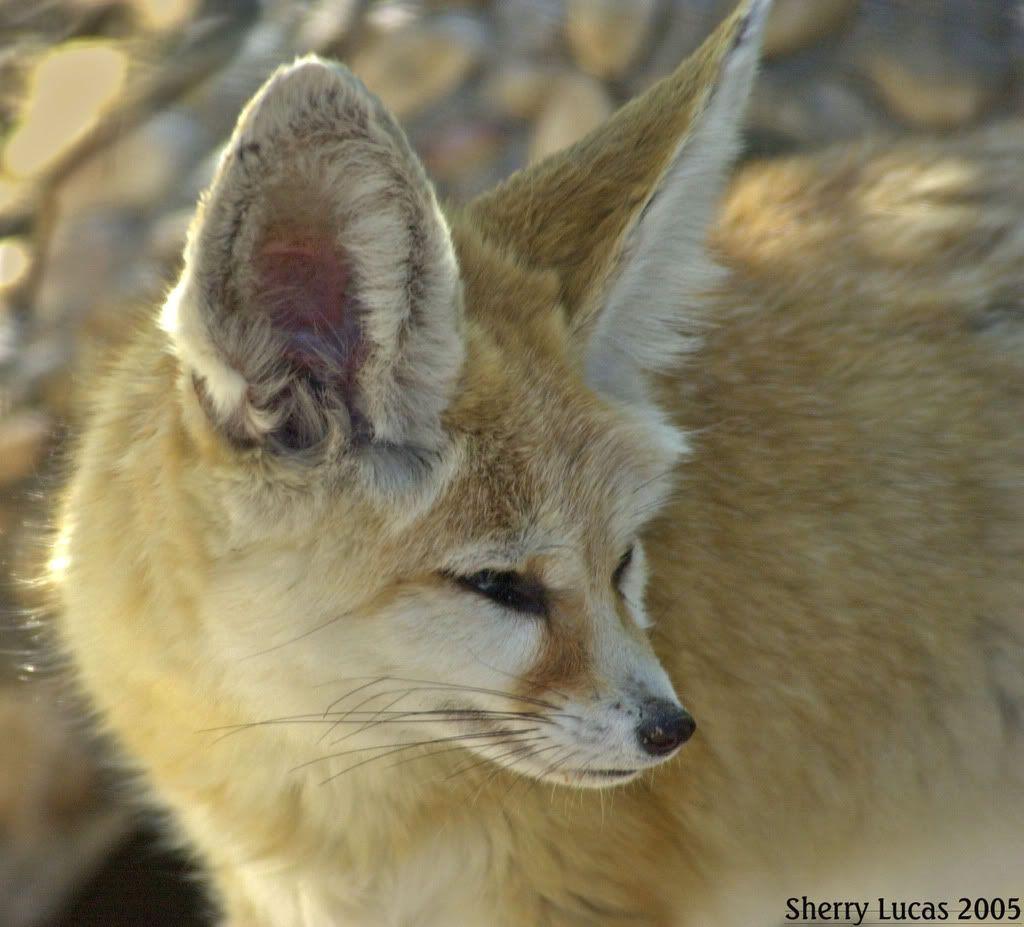 The Fennec Fox Or Fennec Vulpes Zerda Is A Small