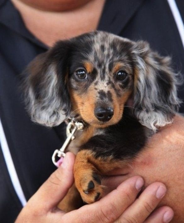 Harlequin Doxie Dog Breeds That Dont Shed Weenie Dogs Dapple