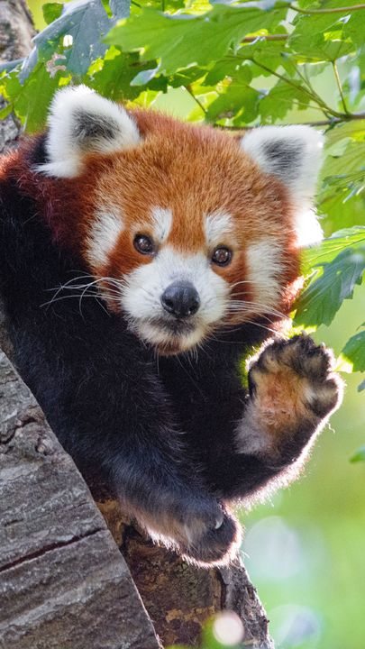 The Latest Iphone11 Iphone11 Pro Iphone 11 Pro Max Mobile Phone Hd Wallpapers Free Download Red Panda Animal Paw Funny F Animals Cute Animals Red Panda