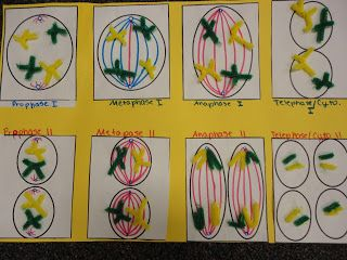 Mitosis model with pipe cleaners science ideas pinterest mitosis model with pipe cleaners ccuart Image collections