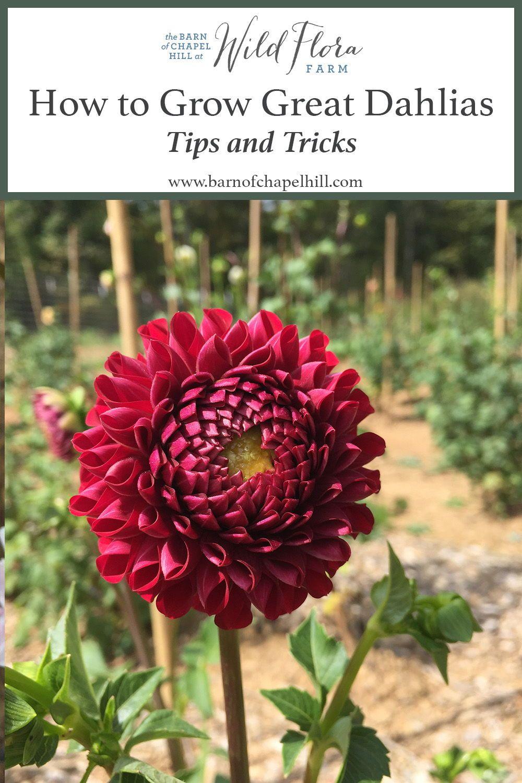 Dahlia Meaning Dahlien Blumen Blumen Pflanzen Schone Blumen