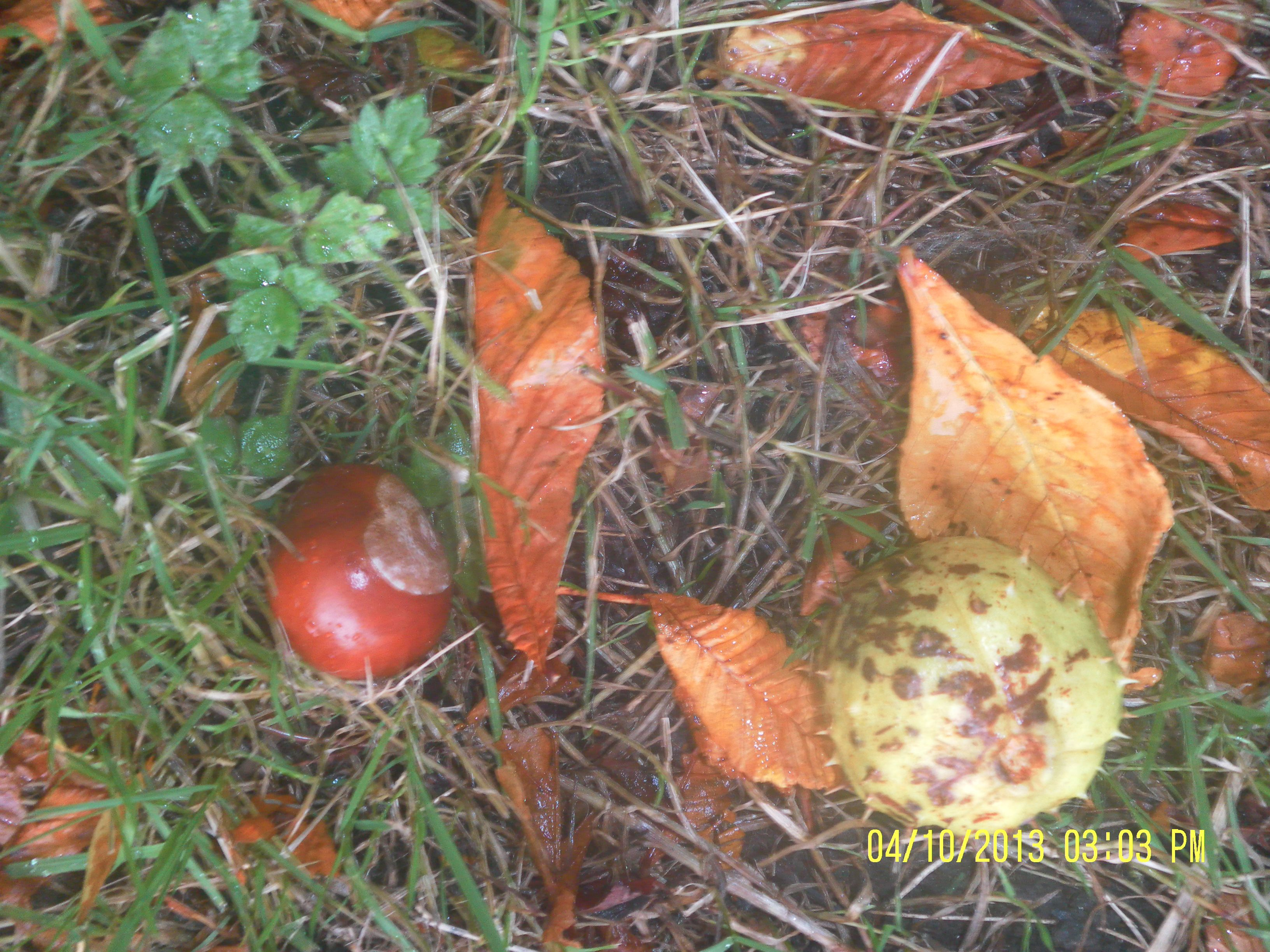 Autumn fun. Out and about.  How many conkers can you find?