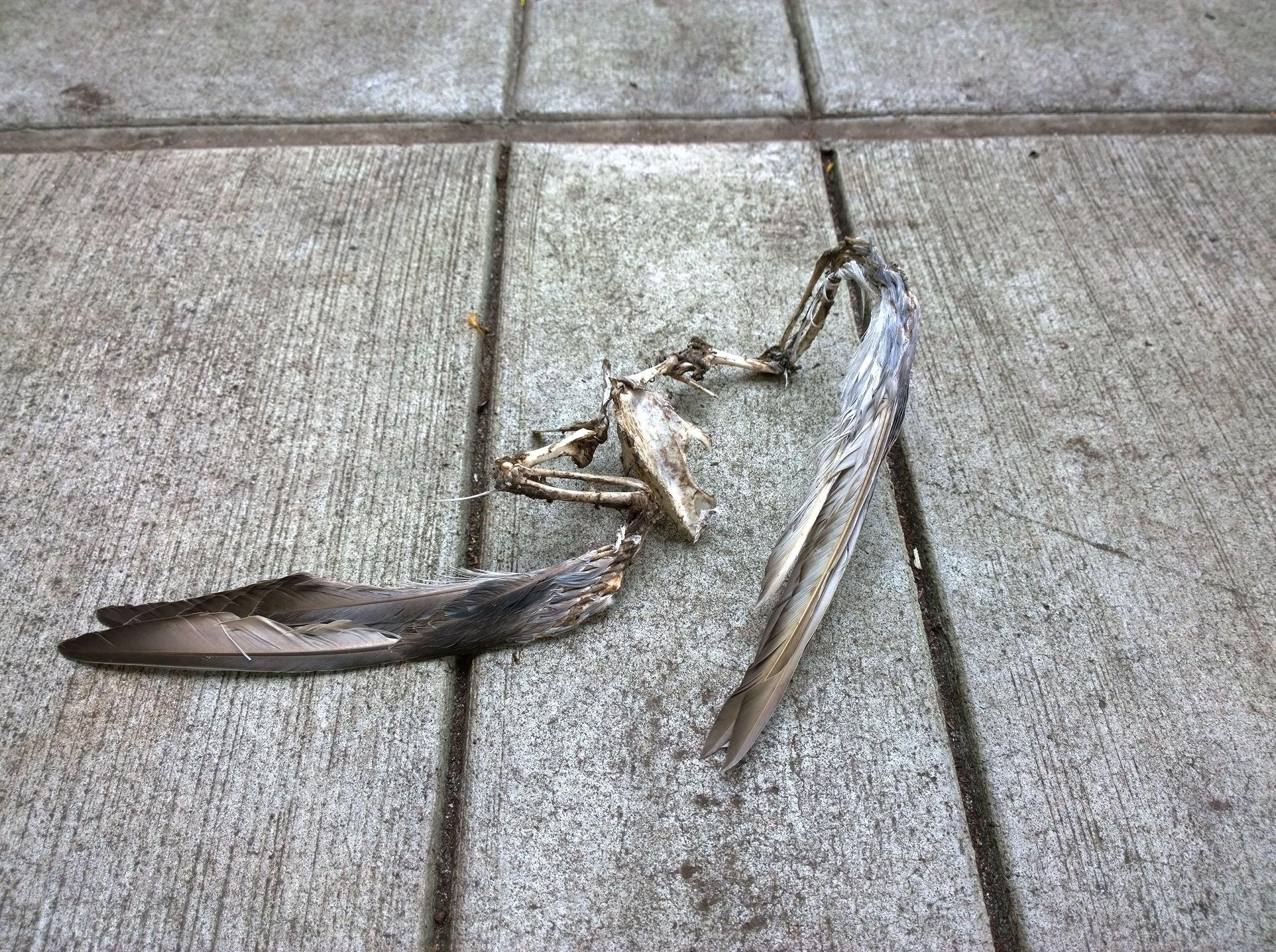 Pigeon wings found near MaCaw Hall (Seattle Center)
