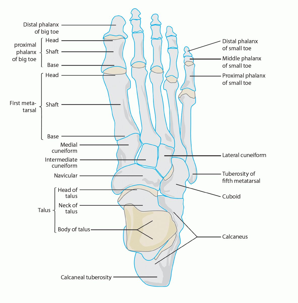 Foot Anatomy In Detail