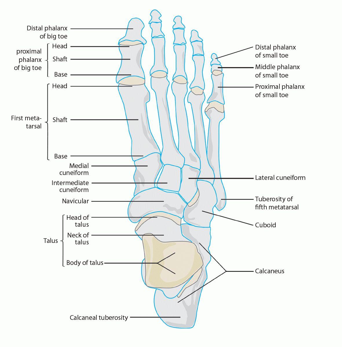 Foot anatomy in detail anatomynote.com | Human Body Anatomy | Pinterest