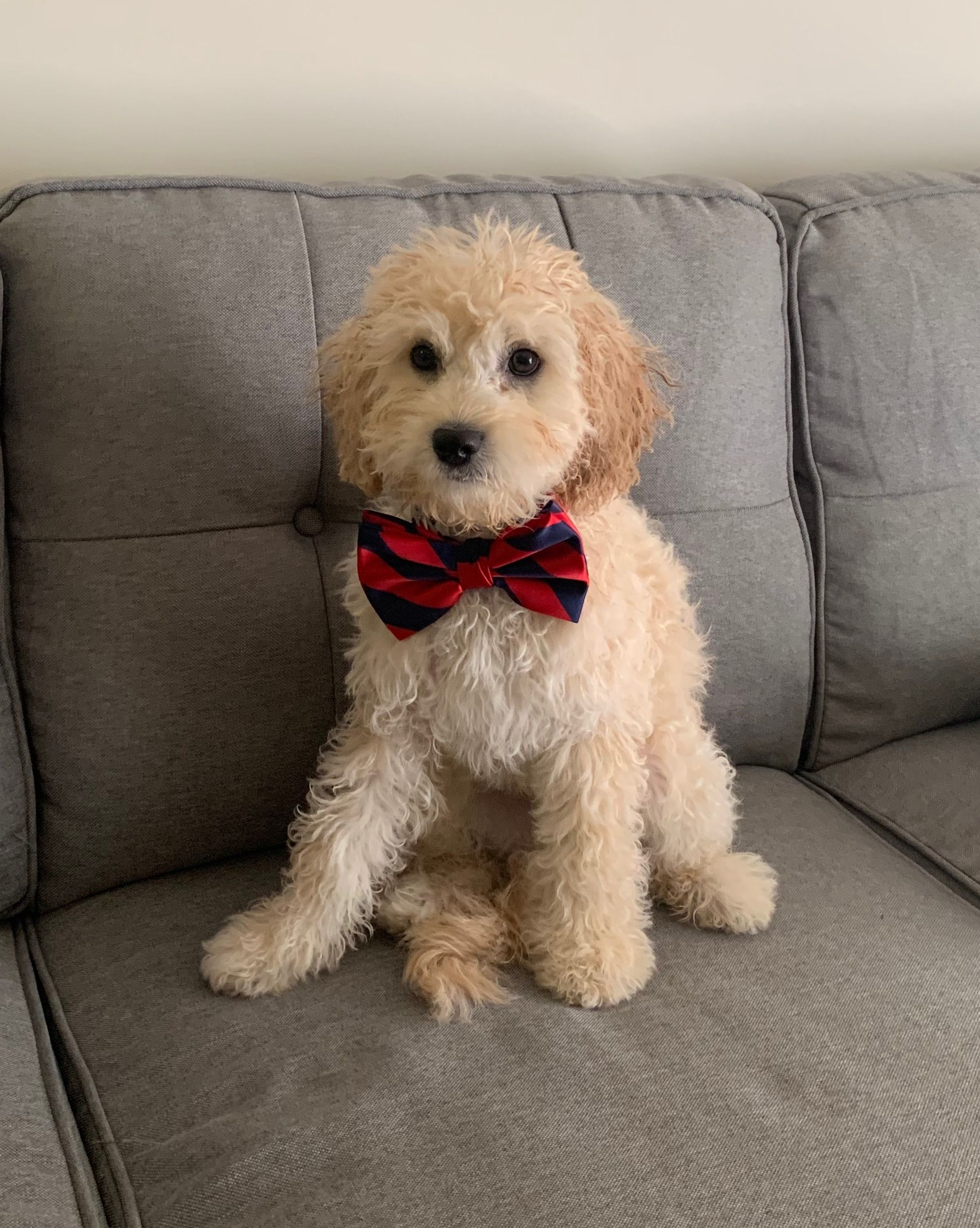 4 Month Old Cavapoochon Puppy 1 2 Toy Poodle 1 4 Bichon 1 4 King