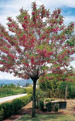 Robinija Pink Cascade Robinia Margaretta Casque Rouge