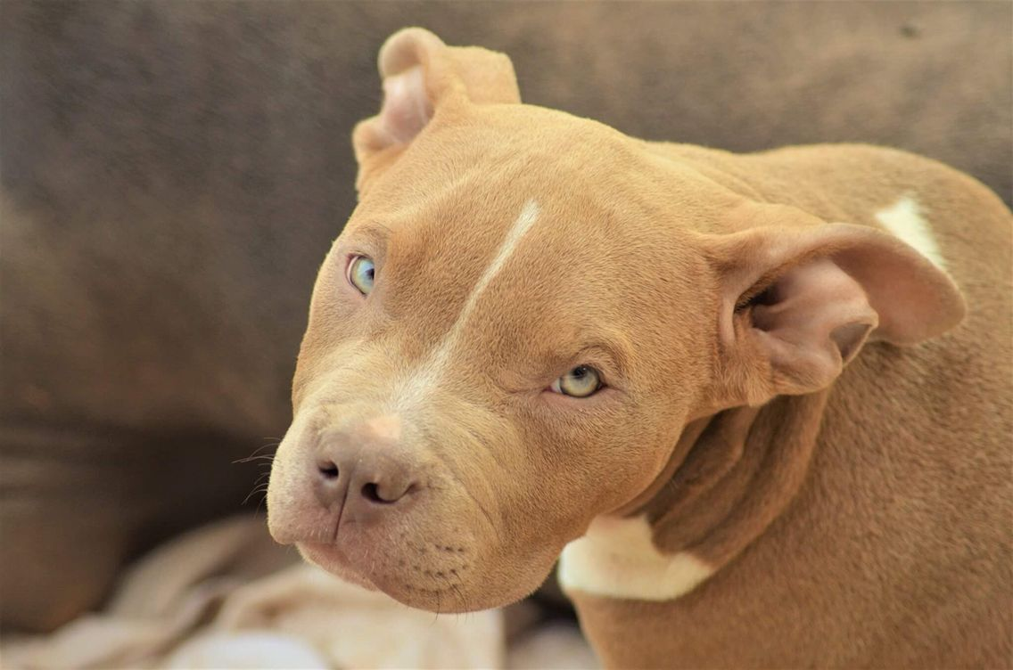 Chiot Puppy Puppies American Bully Giant Xl Xxl Bully Pitbull A Vendre For Sale France Belgique Kennel Elevage Lio Bully Pitbull Pitbull Puppies American Bully