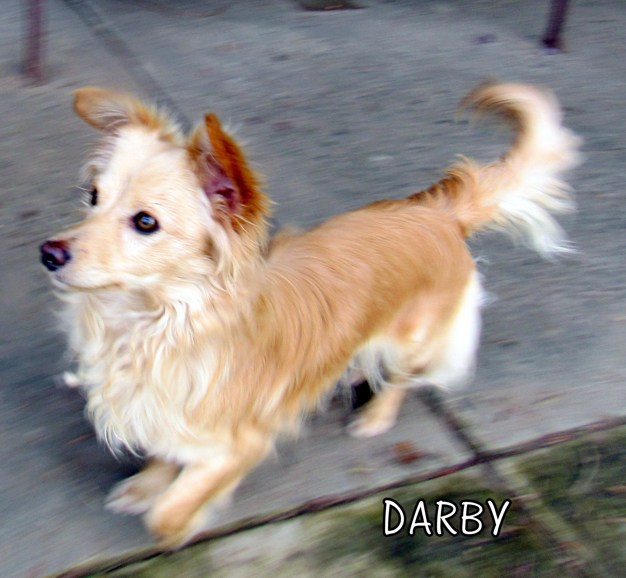 Papshund Dog For Adoption In Lindsay Ca Adn 468344 On