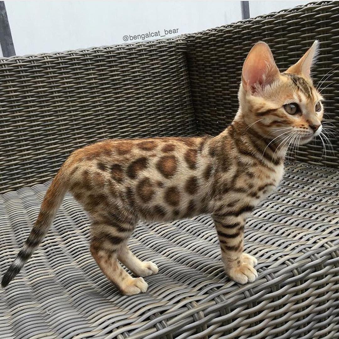 Designer Cat Designercommunity Kittens Cutest Cats Bengal Cat